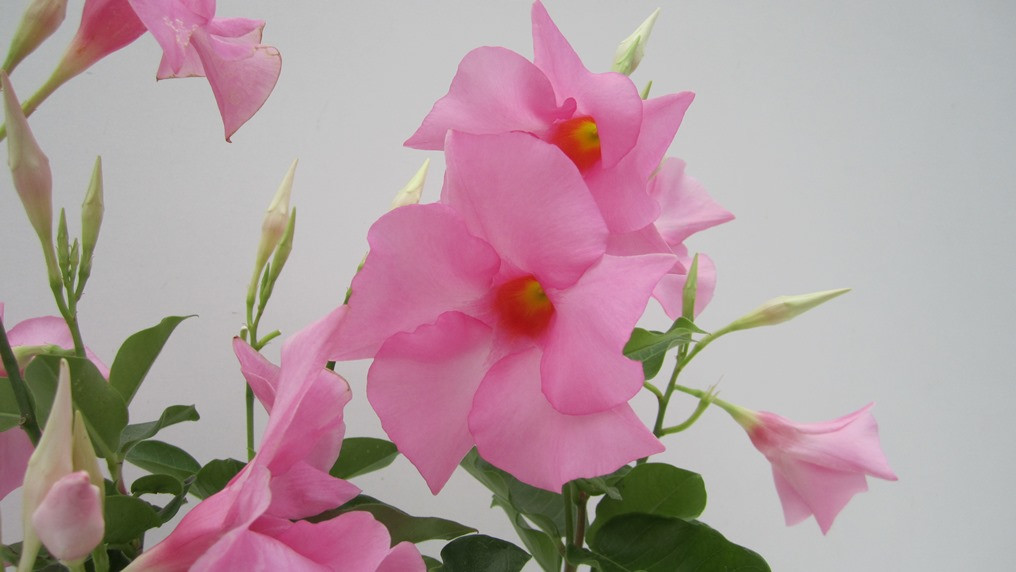 DIAMANTINA TOURMALINE ROSE.jpg
