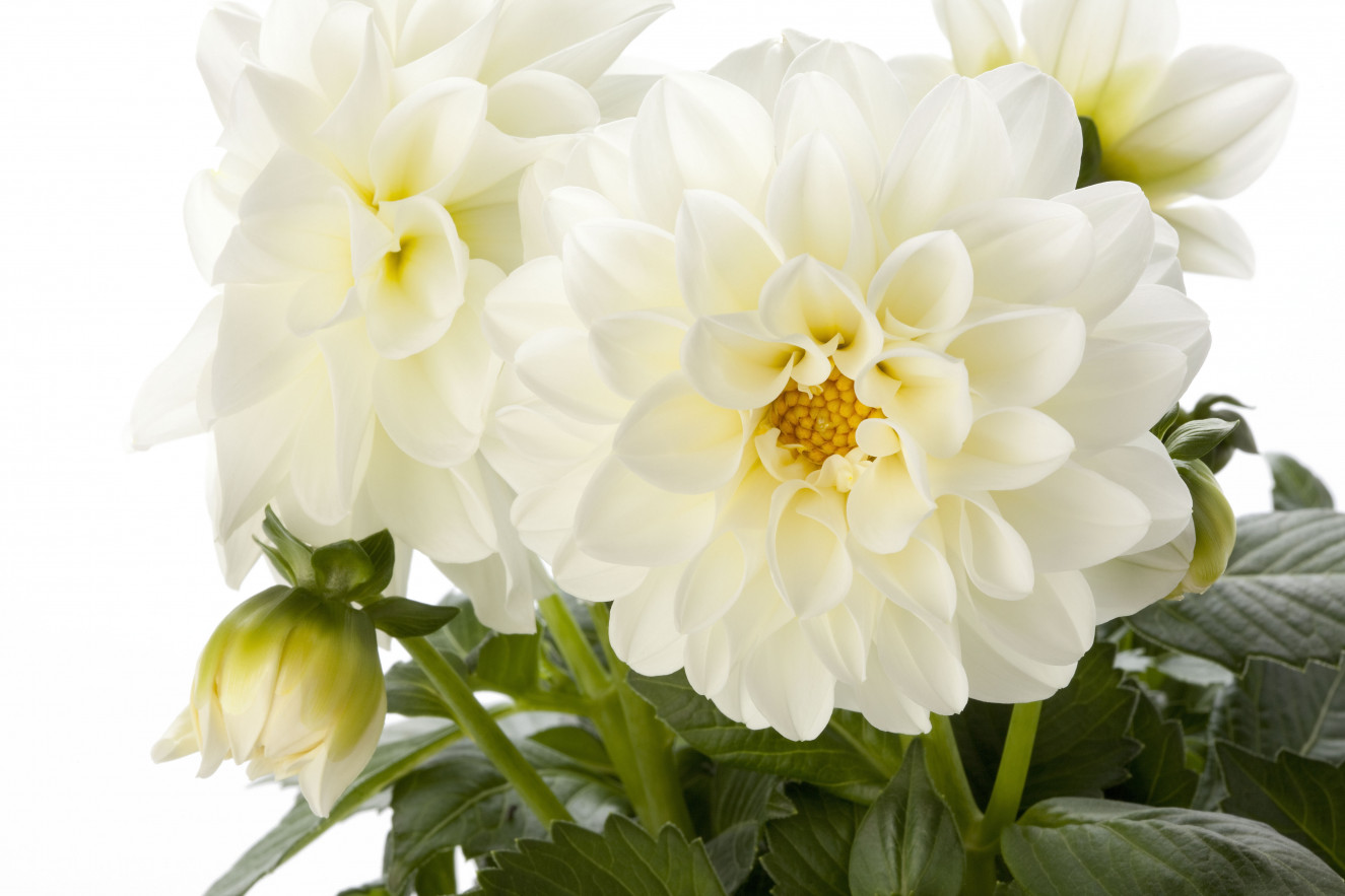 Dahlia Dahlietta blanca improved.jpg