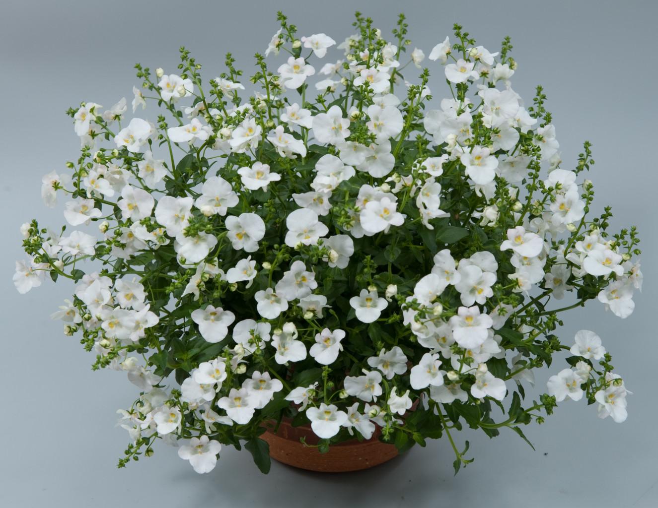 Diascia Genta Classic White.jpg