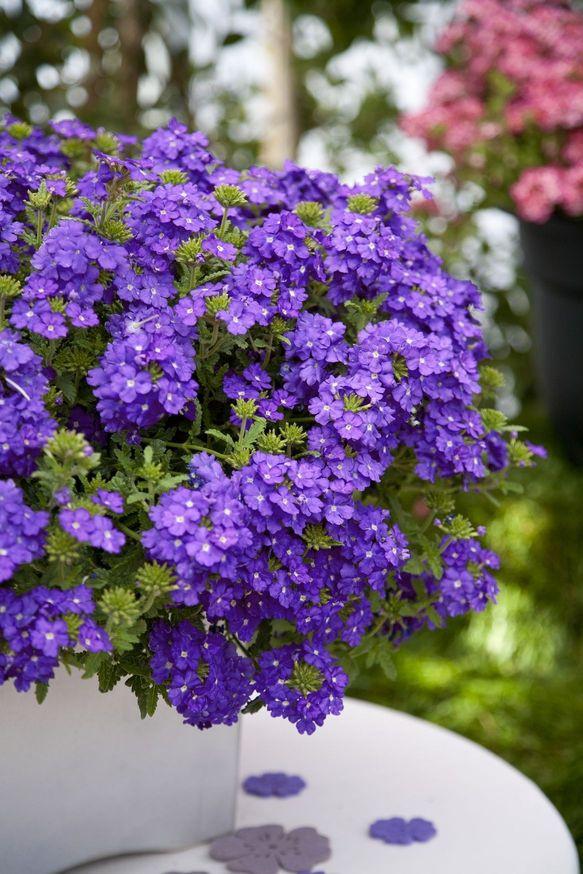 Estrella Blueberry 1.jpg
