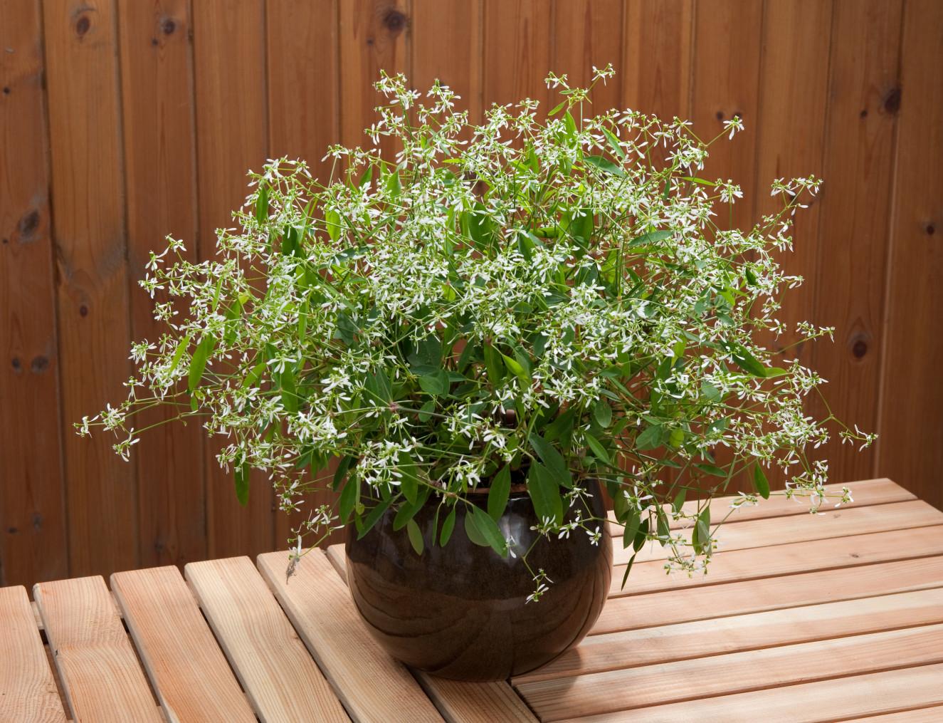 Euphorbia hypericifolia Diwali Shower.jpg