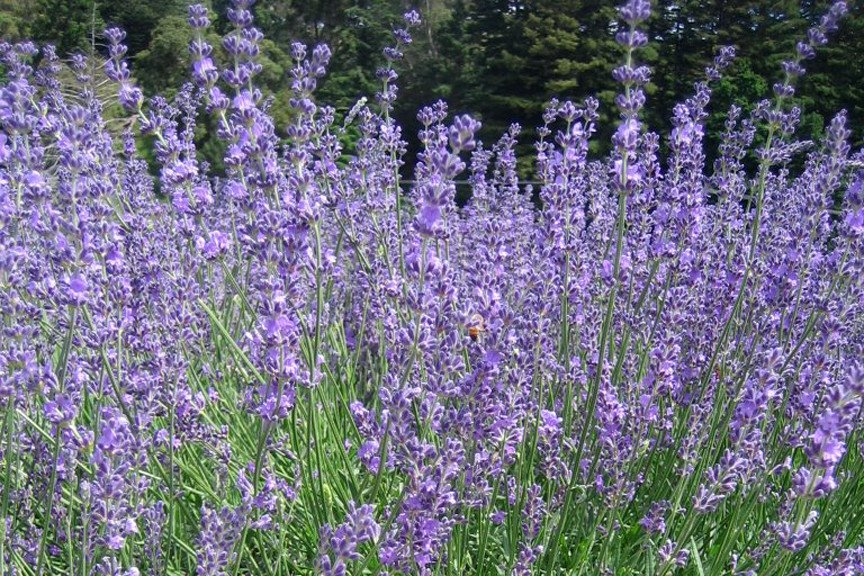 Lavandula Twickle Purple.jpg