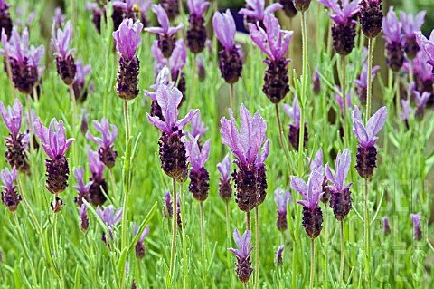 Lavandula stoechas Madrid Purple.jpg