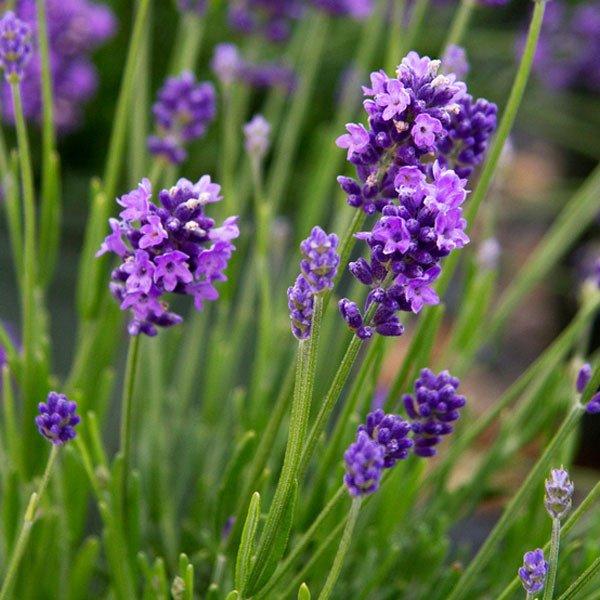 Lavender-Thumbelina-Leigh-web.jpg