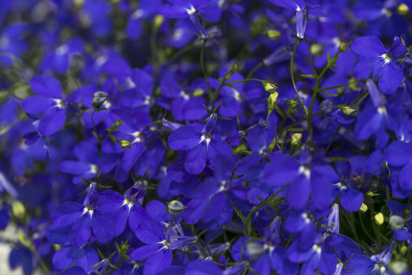 Lobelia HOT Royal Blue Detail.jpg