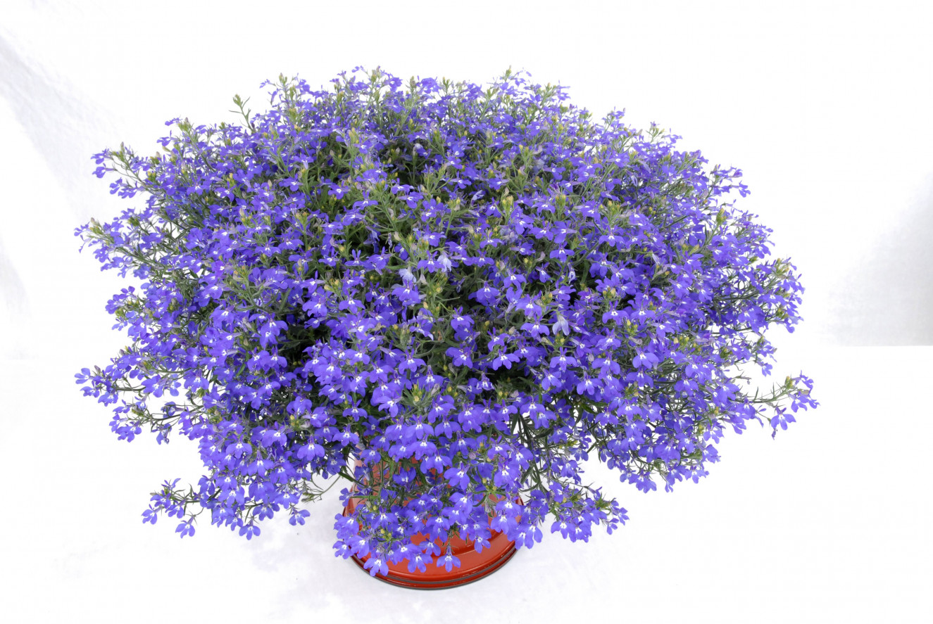Lobelia Hot Blue Decock Plants