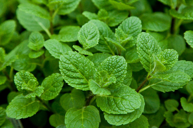 Mentha Suaveolens Apple Mint.jpg