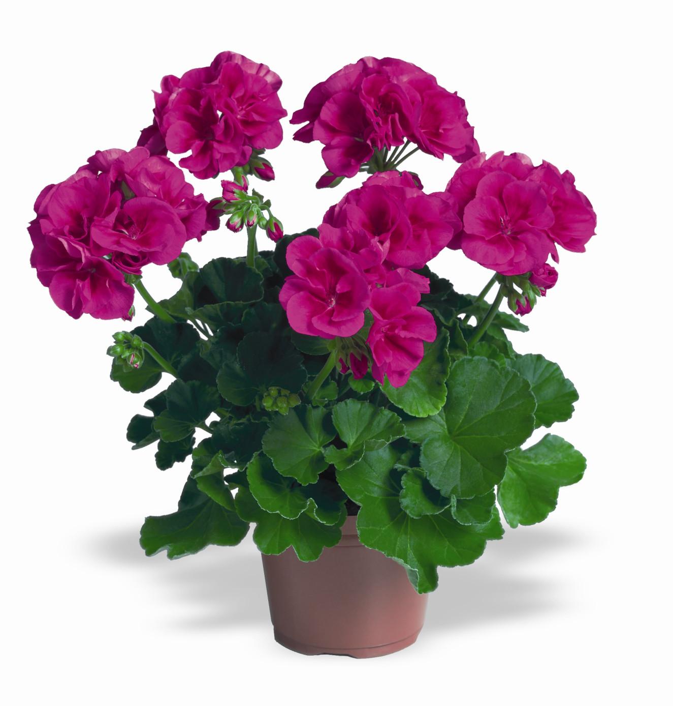 PAC Flowerfairy Violet.jpg