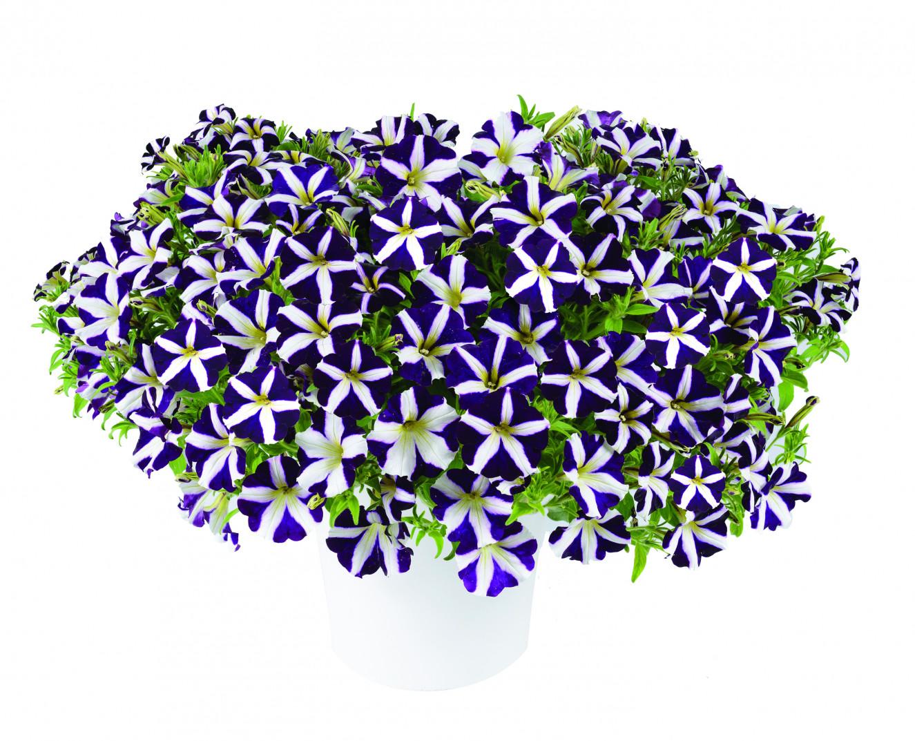 Petunia - Amore Purple .jpg