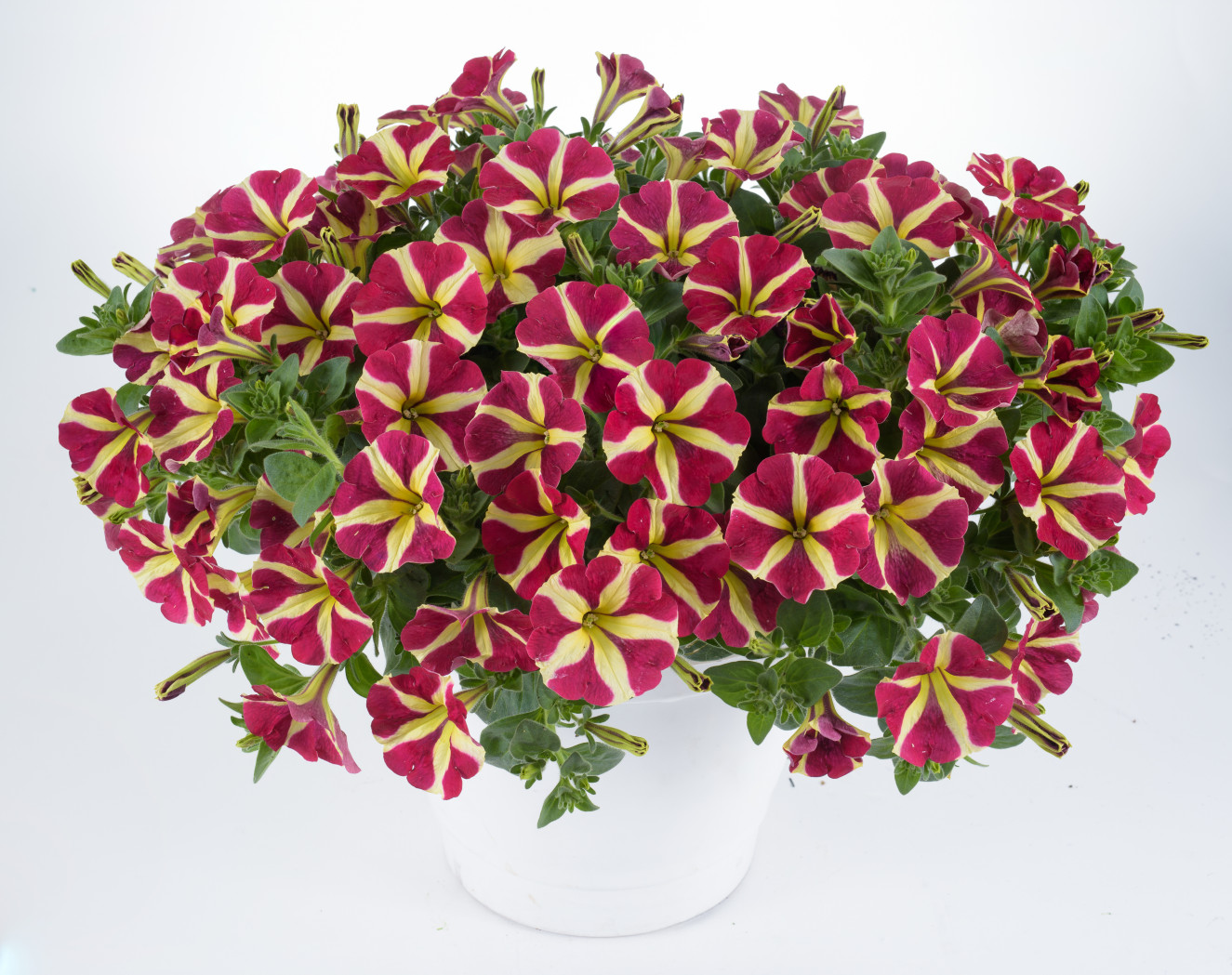 Petunia Amore Queen of HeartsPE-14-9469-q of hearts-409-Edit.jpg