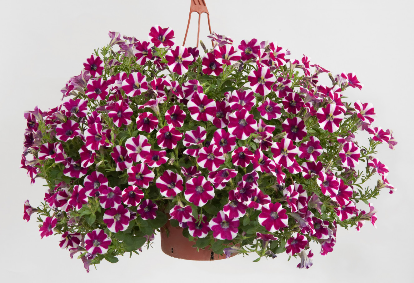 Petunia- Cascadias Bicolor Cabernet.jpg
