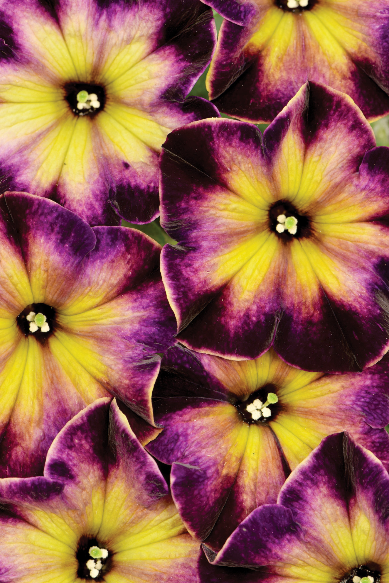 Petunia-Crazytunia-Moonstruck-001.jpg