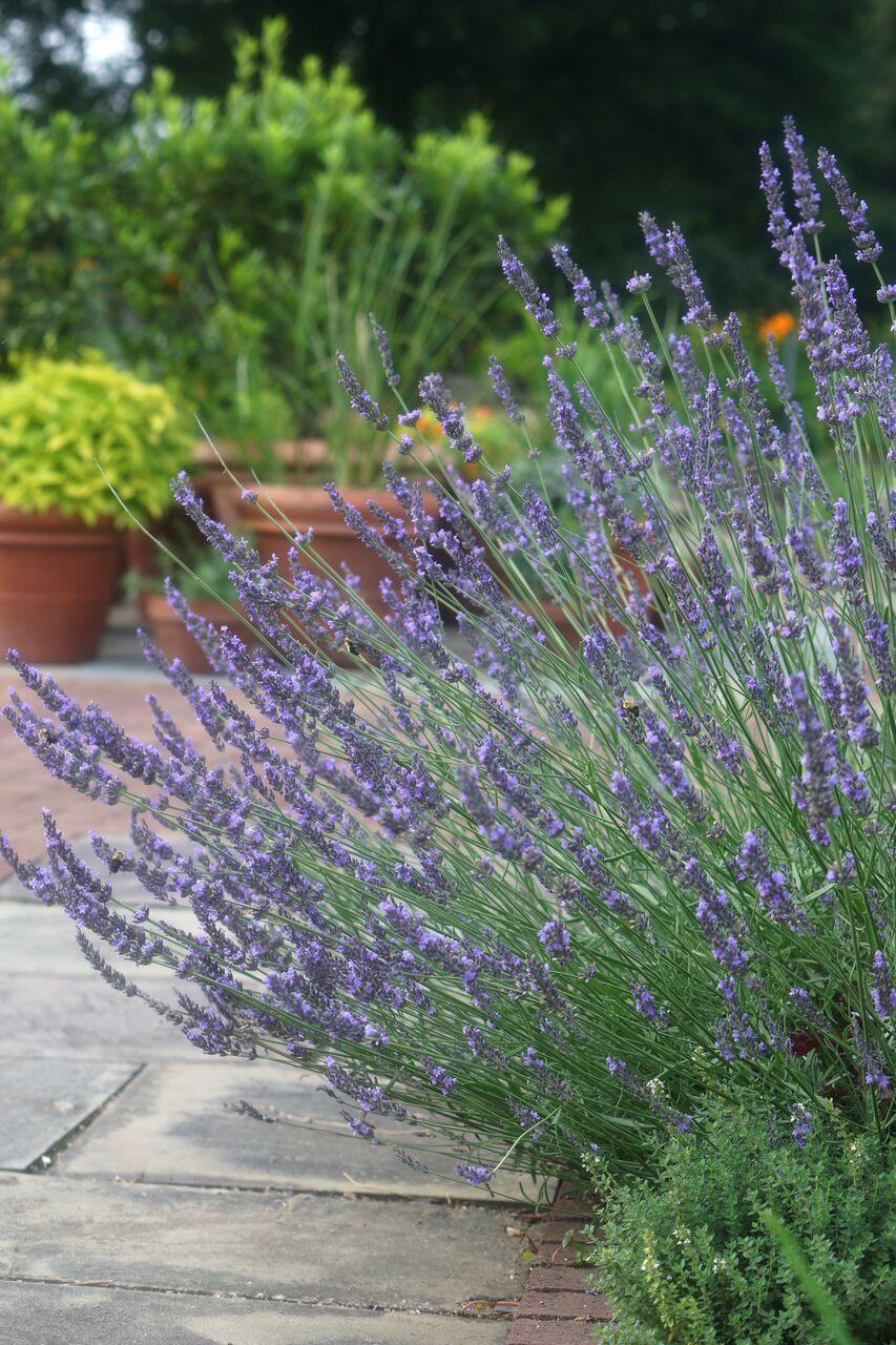 Phenomenal Lavender 04.jpg