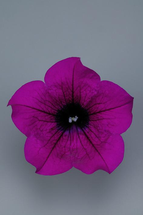 SURFINIA Purple.jpg