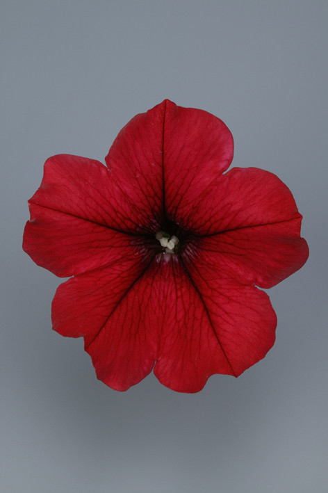 SURFINIA Table Dark Red.jpg