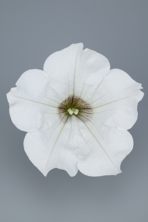 SURFINIA White.jpg