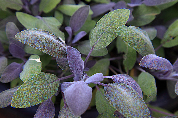 Salvia Officinalis Purparescens.jpg