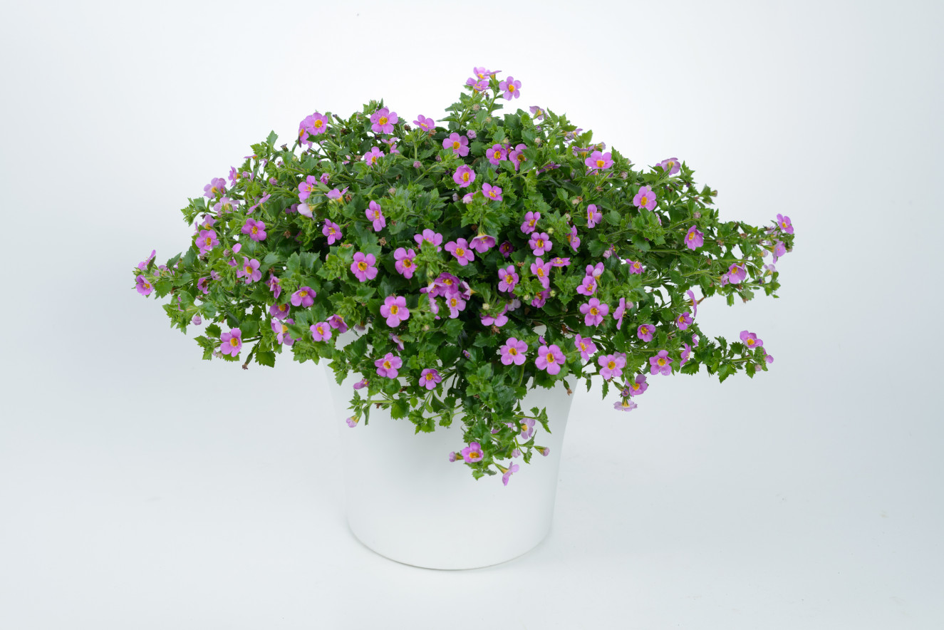 Scopia ® Great Pink Delight-BA 12-2599(15-16)ba-12-2599-1616.jpg
