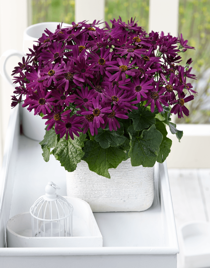 Senetti-Grape (1).png