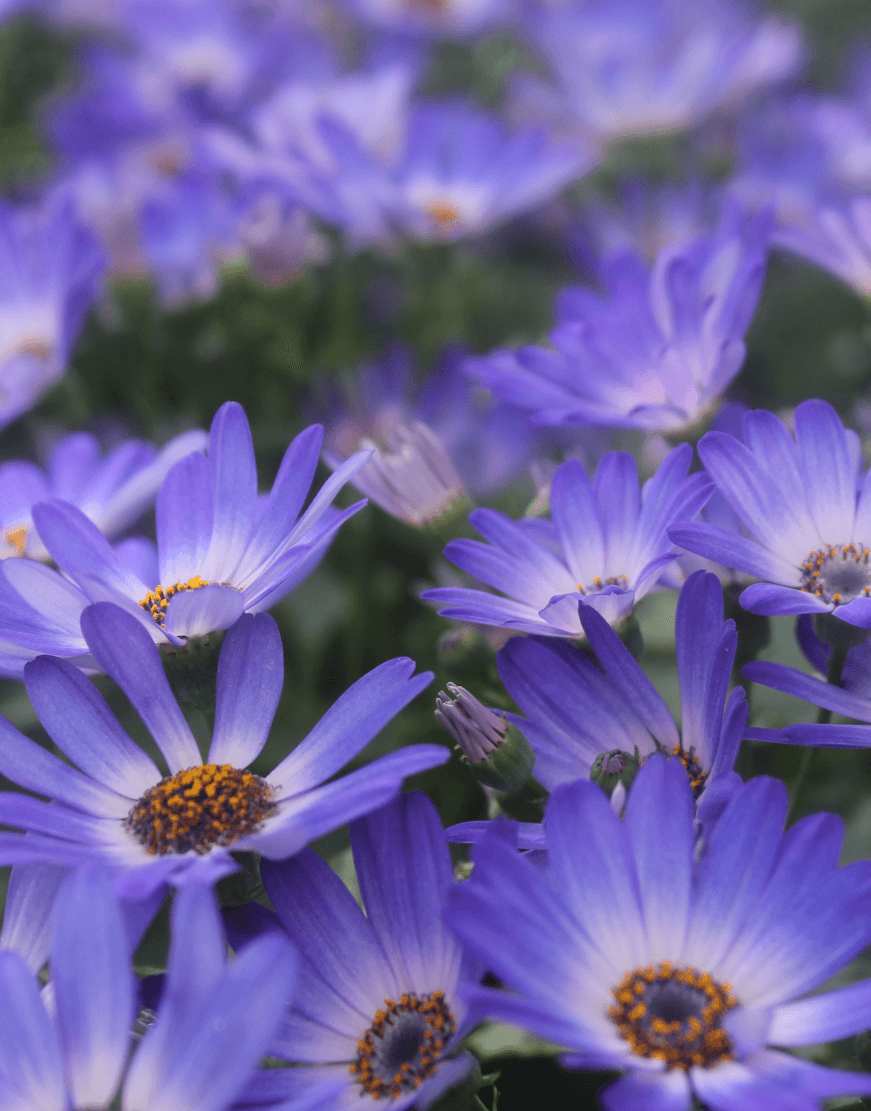Senetti-Magic-Blue (1).png