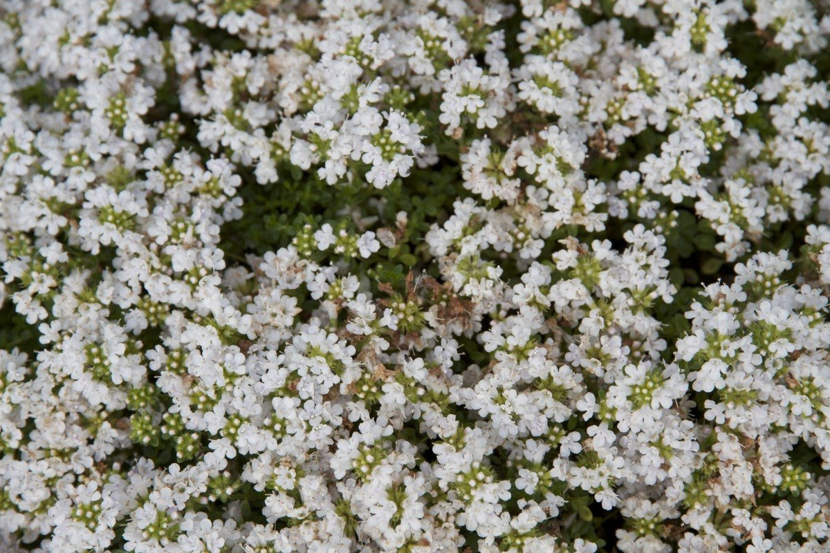 Serphyllum Snowdrift.jpg