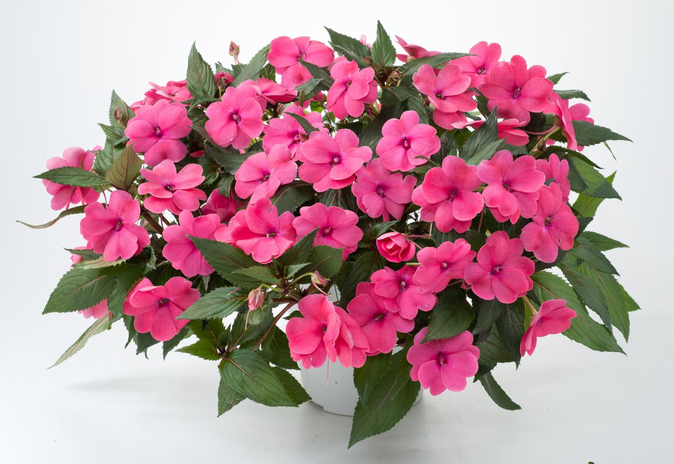 Sun Harmony™ Deep Pink- bm-12-169-dan-1342-Edit(14-15).jpg