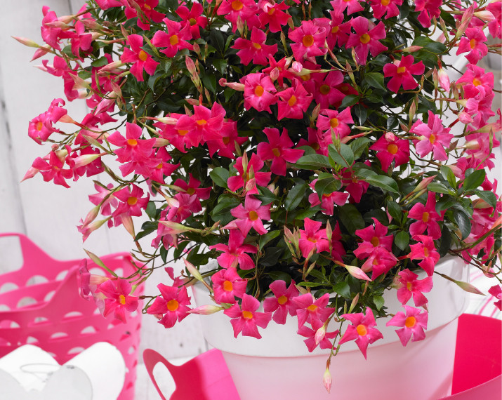 Sundaville® beauty coral pink.jpg