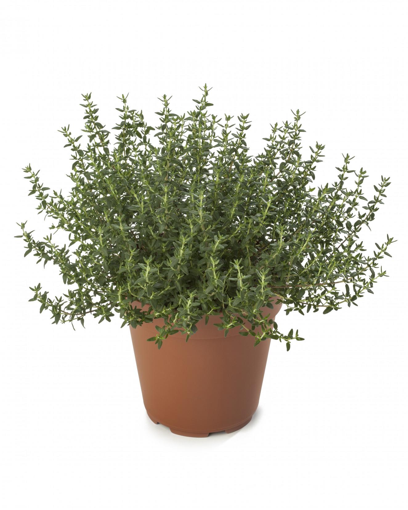 Thymus Faustinoi_LD121014-017.jpg