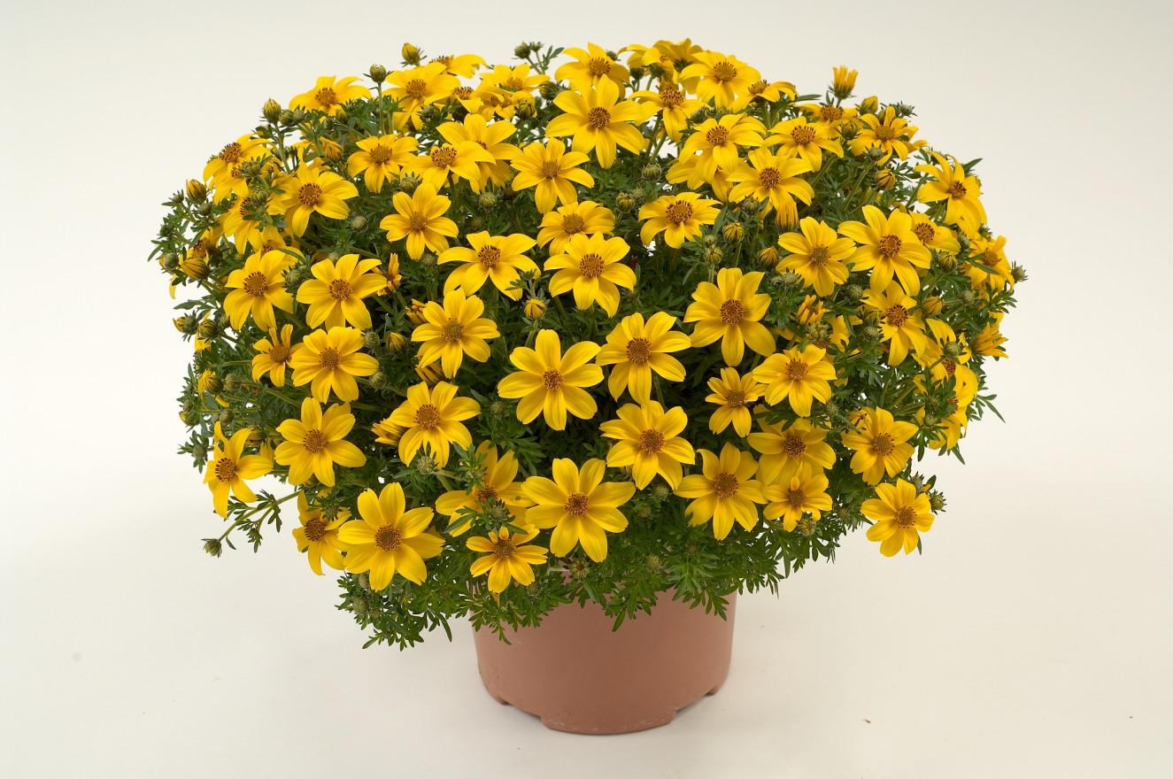 Yellow_Charm_BD-7-375_DG3809.jpg