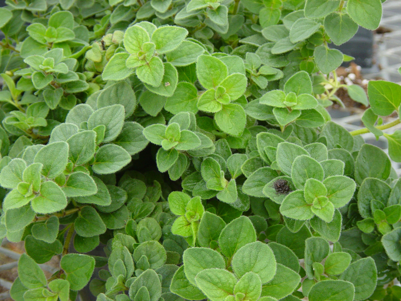 origanum hot & spicy.jpg