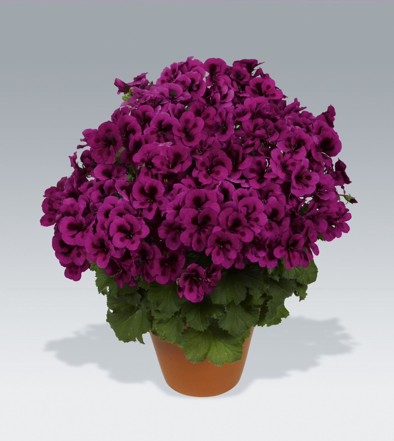 pac Candy Flower Violet.jpg