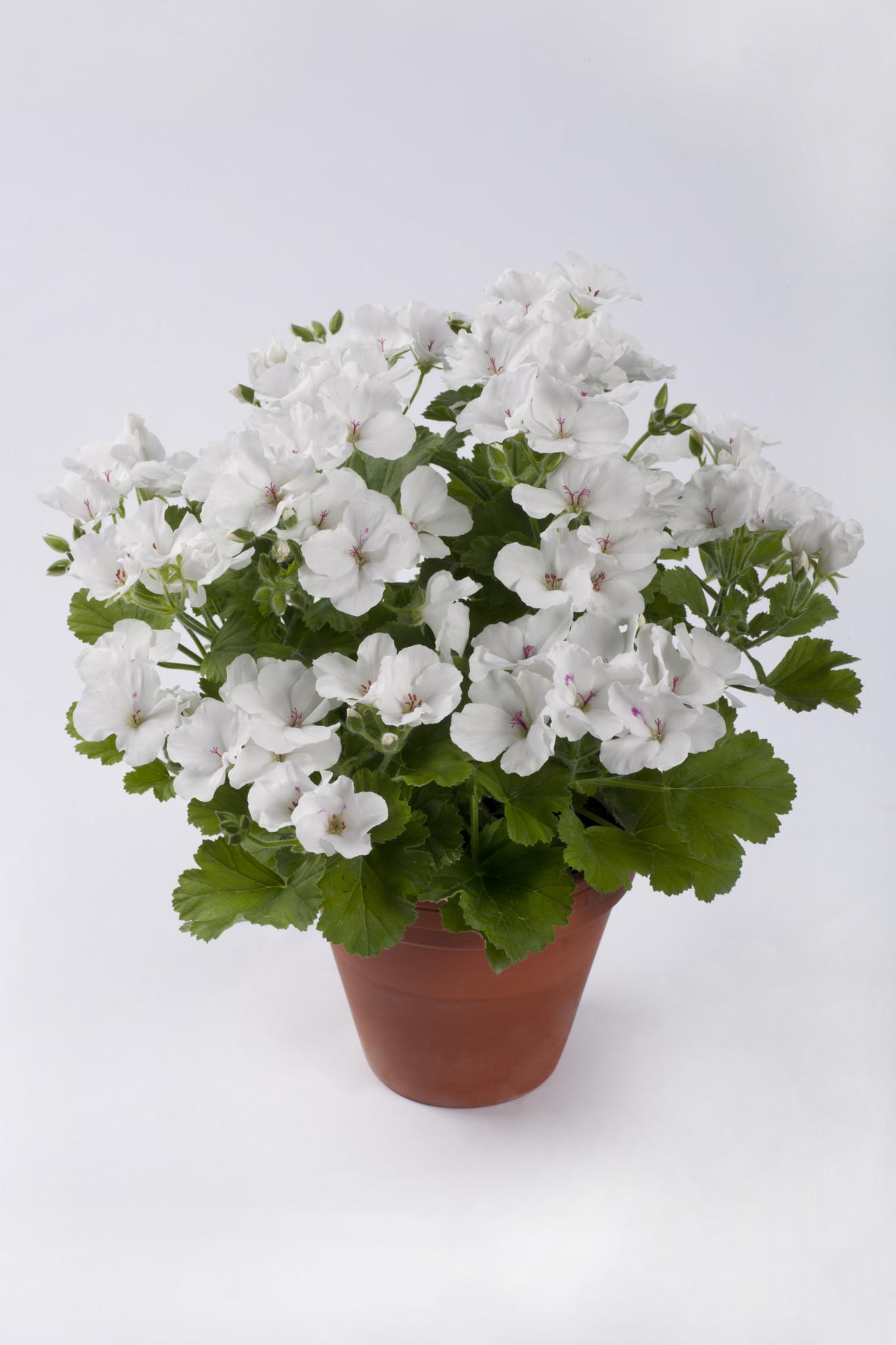pac Candy Flowers White -.jpg.jpg