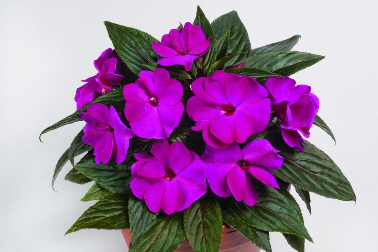 pac Impacio Purple.jpg
