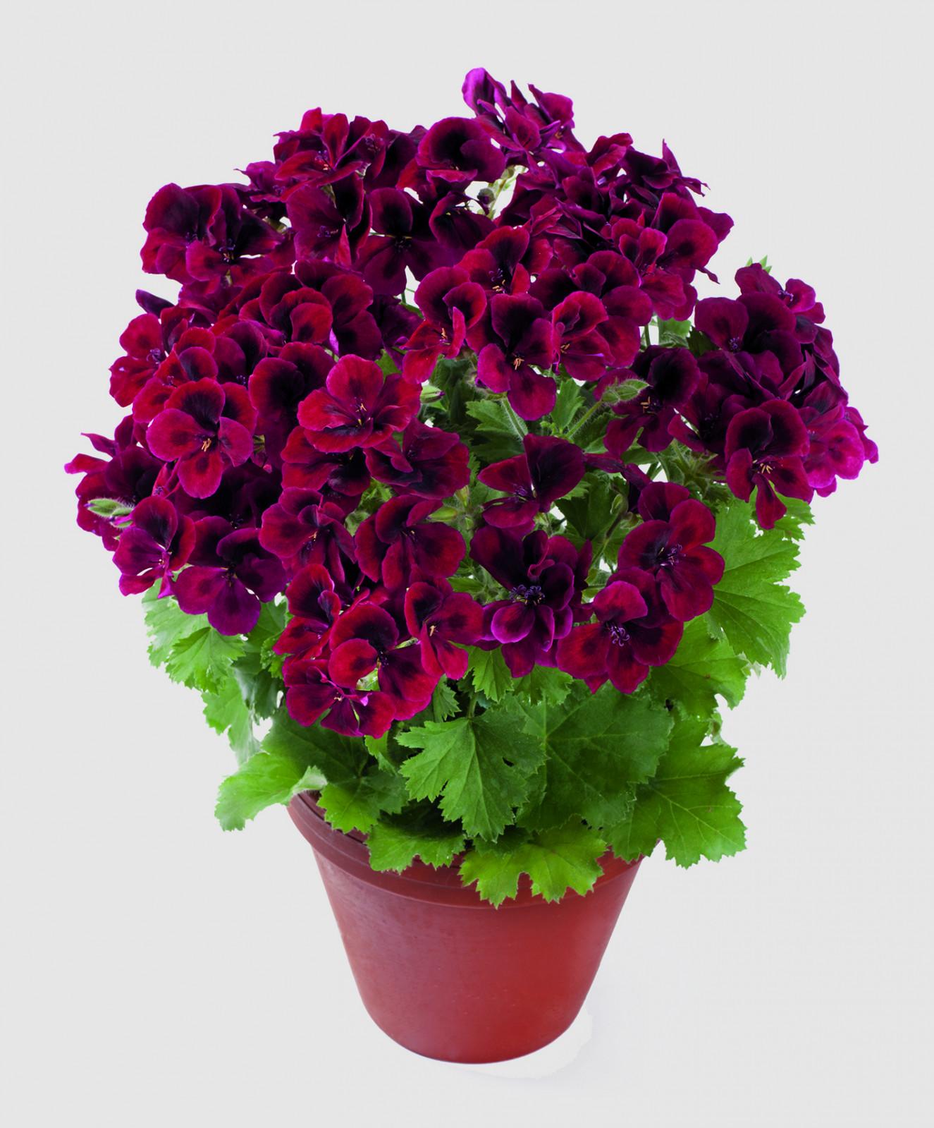 pac_Candy_Flowers_Dark_Red_13703_Topf_01_Presse.jpg