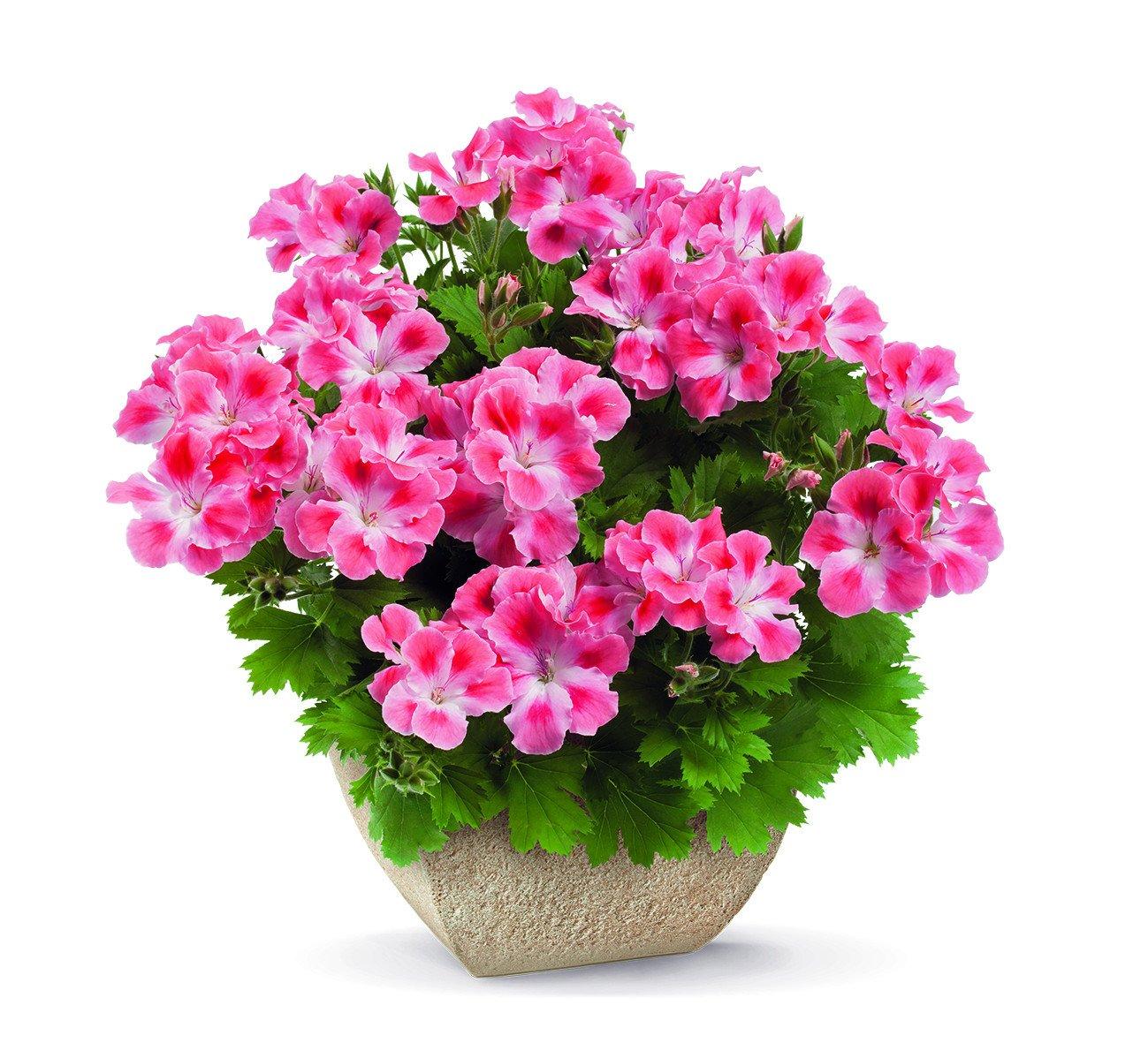 pac_Candy_Flowers_Peach_Cloud_13708_CMYK_Presse.jpg