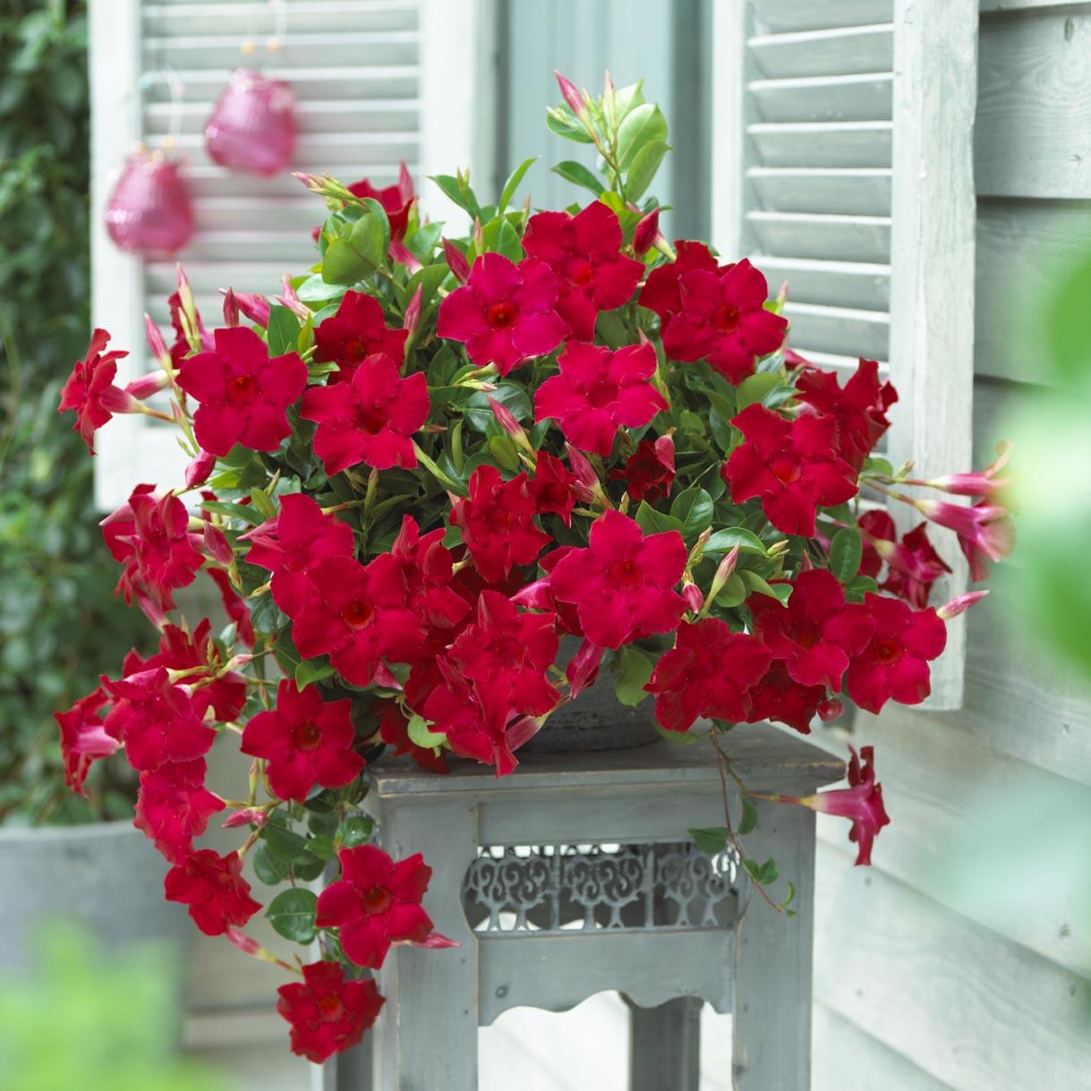 photo_03 Sundaville Velvet red 1784.jpg