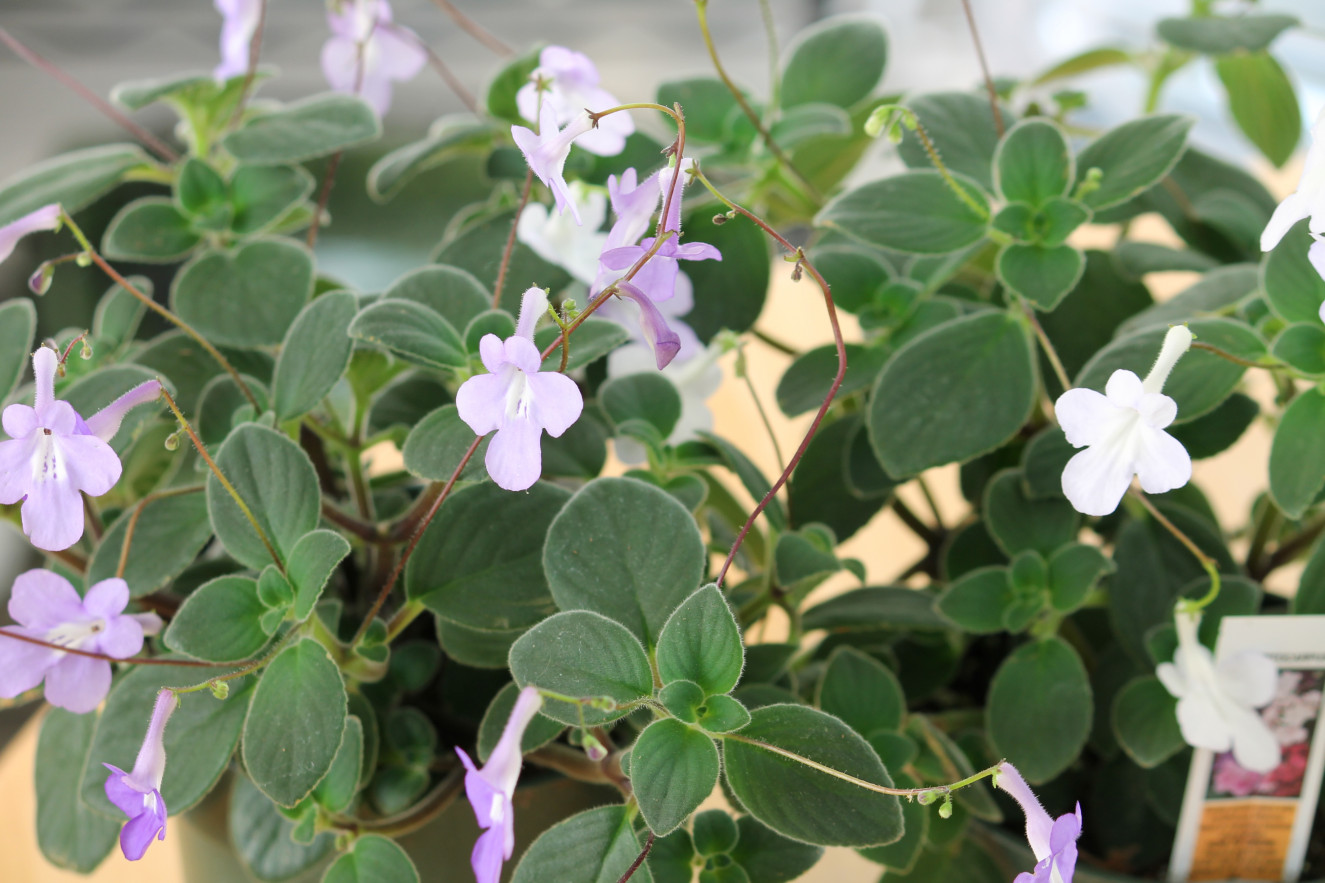 streptocarpus-saxorum 4.jpg