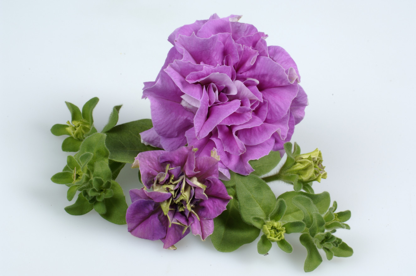 surfinia double Lilac single 2.jpg