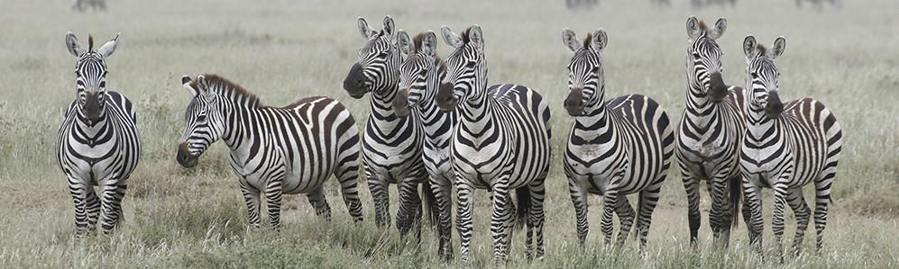 banner zebra 30.jpg