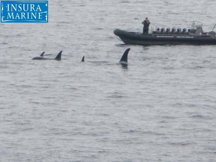 Orca @ Lofoton Island Norway