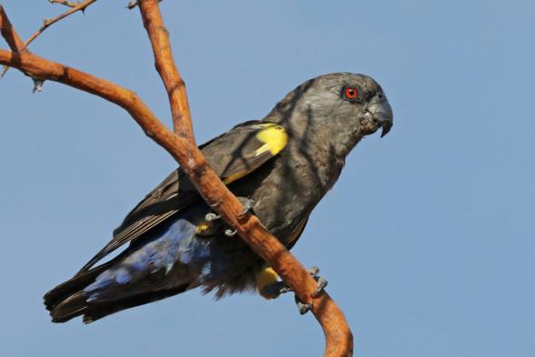Rüppell's_parrot_(Poicephalus_rueppellii)_female.jpg