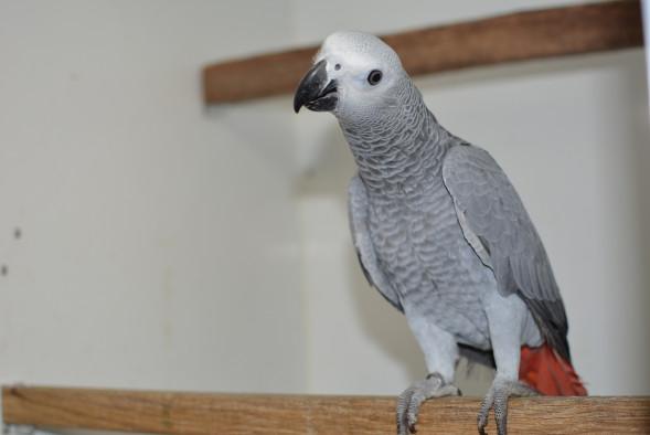 papegaai_grijze roodstaart papegaai2.jpg