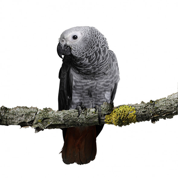papegaai_grijze roodstaart papegaai3.jpg