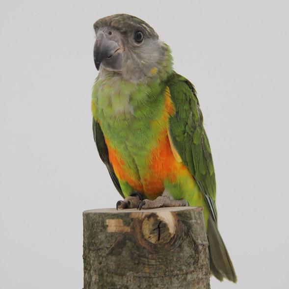 papegaai_senegal papegaai2.jpg