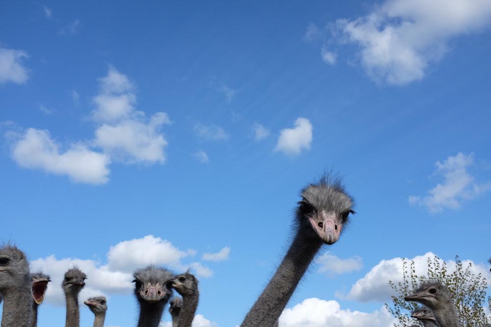 Struisvogelboerderij Schobbejaks Hoogte 7.jpg