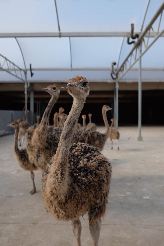 Struisvogelboerderij Schobbejaks Hoogte 3.jpg