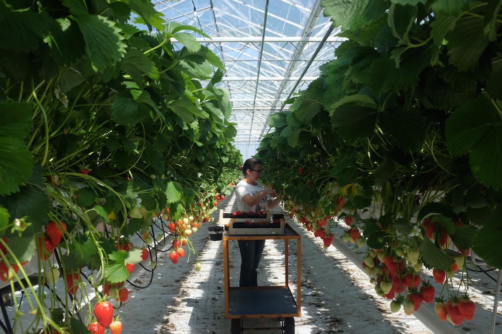 Aardbeien Demaegdt 1.jpg