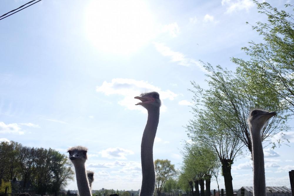 Struisvogelboerderij Schobbejaks Hoogte 5.jpg