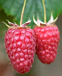 02b Rubus idaeus 'Tulameen'.jpg