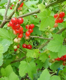 04b Ribes rubrum 'Rondom'.jpg